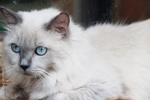 Fototapety, obrazy: Cats with blue eyes are staring