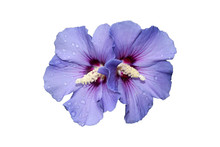Detail Of Hibiscus Syriacus 'Oiseau Bleu' Flowers With Rain Drops, Isolated On White Background