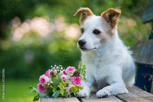 Obraz na płótnie Kleiner Terrier mit Blumenstrauß