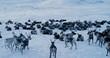 Aerial view of herd of reindeer, which ran on snow in tundra.4k