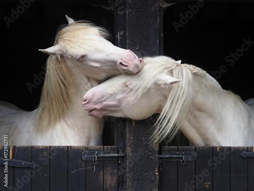 Foto  Two Stallions