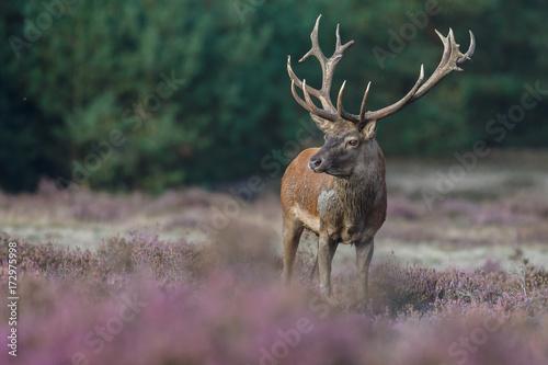 Poster Hert Red deer in nice sunlight during mating season