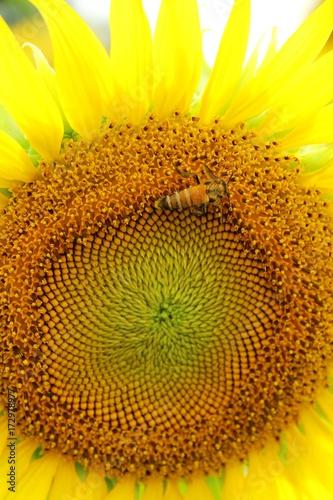 Keuken foto achterwand Draw Sunflowers field at beautiful in the garden