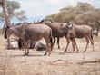 herd of wildebeest at Tarangire National Park, Tanzania, Africa