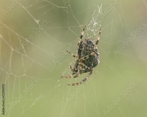 European Garden Spider E Fototapete