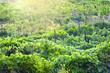 Leinwanddruck Bild - Georgian vineyard in autumn
