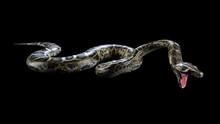 3d Boa Constrictor The World's Biggest Venomous Snake Isolated On Black Background, 3d Illustration, 3d Rendering