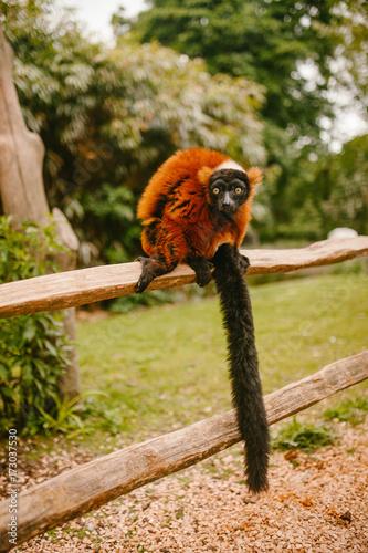 Foto op Plexiglas Aap Red Ruffed lemur sitting on a branch