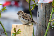 A Sparrow On A Wooden Log In A...