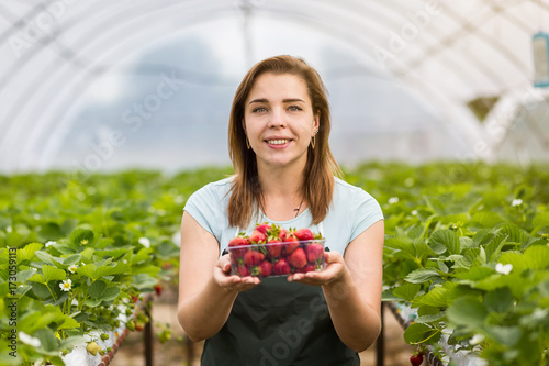 Strawberry growers with harvest,Agricultural engineer working in the greenhouse Canvas Print