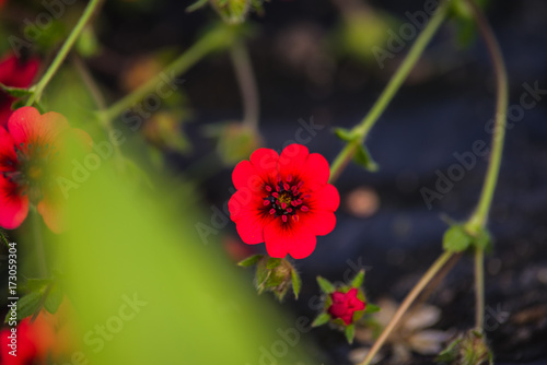 фотография  Potentilla red robin