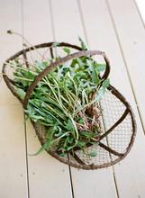 Clump Of Dandelions In Basket