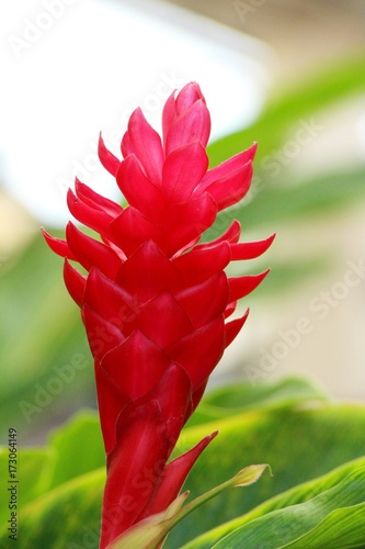 Garden Poster Roe Red ginger or zingiberaceae with the nature