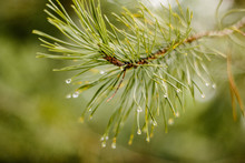 Close Up Of Pine Needles With Water Drops.