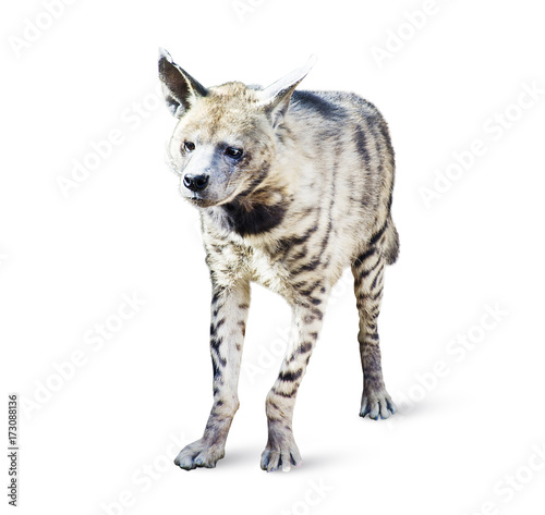 Garden Poster Hyena Hyena isolated on white background