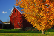 Red Barn Surrounded By Yellow Fall Leaves In New England