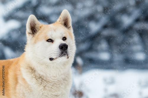 Japanese Dog Akita Inu Winter Background Canvas Print
