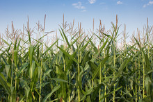 A Corn Field With Multiple Cor...