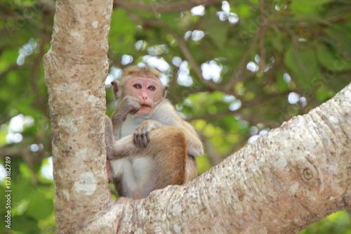 Foto op Plexiglas Aap Sri Lanka