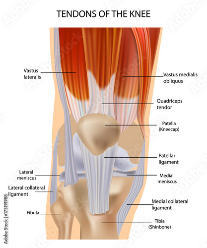Tendons at the front of the knee knee anatomy buy this stock tendons at the front of the knee knee anatomy ccuart Image collections