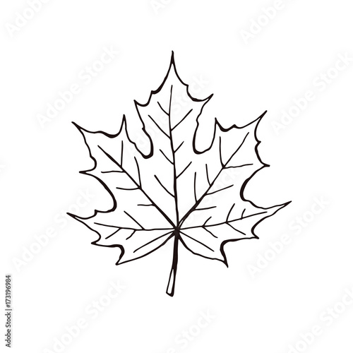 Hand Drawn Maple Leaf Outline Maple Leaf In Line Art Style