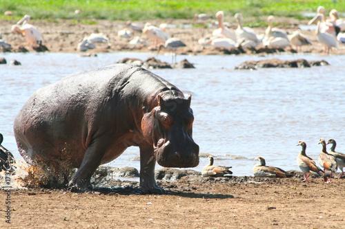 Nilpferd steigt aus dem Wasser im Manyara Nationalpark Tansania