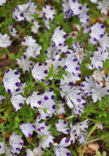 Fotografie, Obraz  Gefleckte Hainblume (Nemophila maculata)