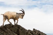 Male Feral Mountain Goat Walki...