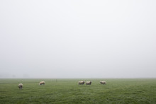 Field With Sheep In The Mist, ...