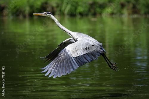 Photo  Airone cenerino che si alza in volo da un laghetto