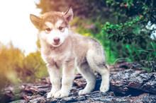 Cute Puppy Alaskan Malamute Ru...
