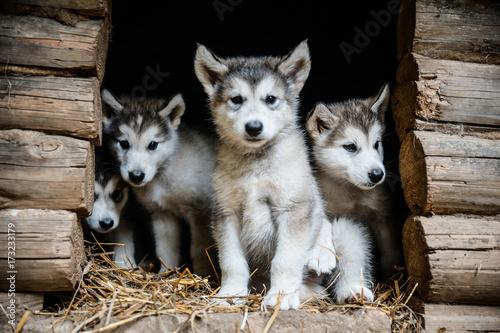 group of cute puppy alaskan malamute run on grass garden Canvas Print