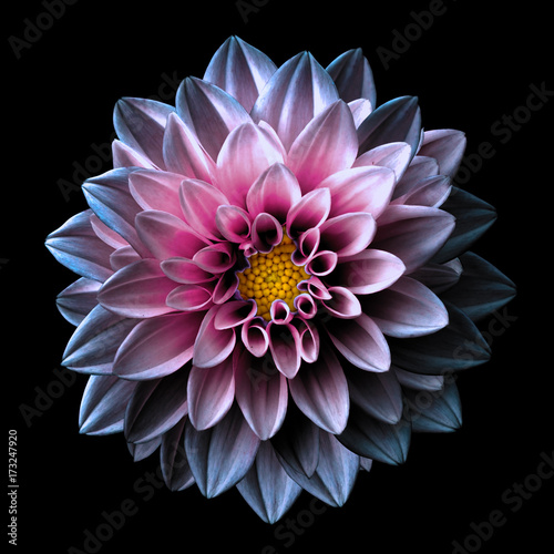 Poster de jardin Dahlia Surreal dark chrome pink and purple flower dahlia macro isolated on black
