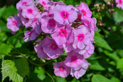 Plakat Ogrodowy krzak z różowymi małymi kwiatami