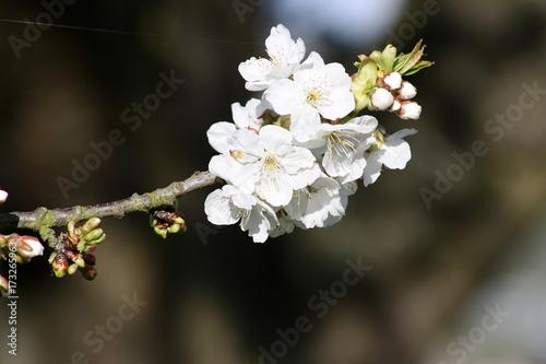 Fototapeta Blossom oddział jabłoni na wiosnę