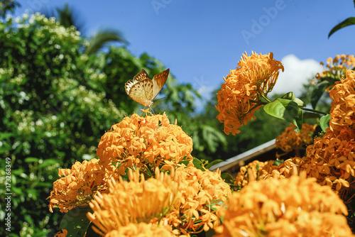 Plakat Ixora coccinea żółte kwiaty I żółty motyl