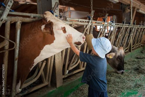 Fotografie, Obraz  un bambino in una stalla nutre e gioca con mucche e tori