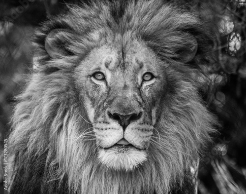 Lion looking at camera Canvas Print