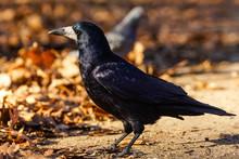 Rook (Corvus Frugilegus)