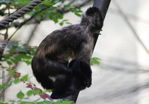 Photo golden-bellied capuchin (Sapajus xanthosternos)