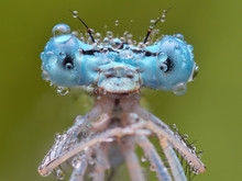 Natural Macro Of Polish Blue Damselfly With Dew, Erythromma Lindenii
