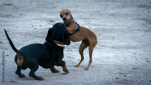 Papel de parede Dos perros cachorros de menos de un año jugando juntos al pilla pilla