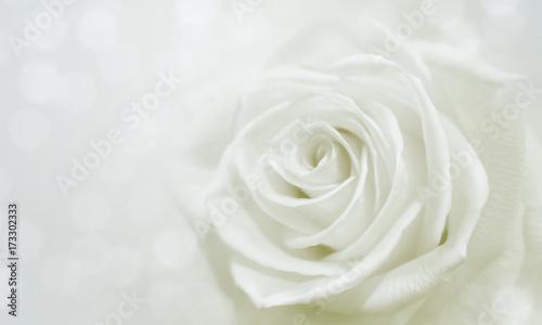 Fototapeta white rose and bokeh for soft background use obraz