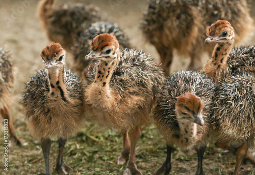 Adorable baby ostriches on farm