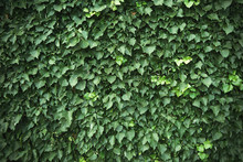 Wall Covered With Green Ivy Vi...