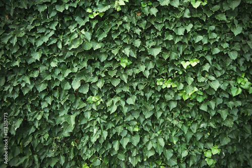 Wall covered with green ivy vines Fototapeta