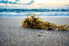 Close Up Of Seaweed Washed Up ...