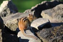 Chipmunk Sit On Rock