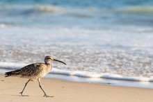 Whimbrel, Shore Bird, Walking ...