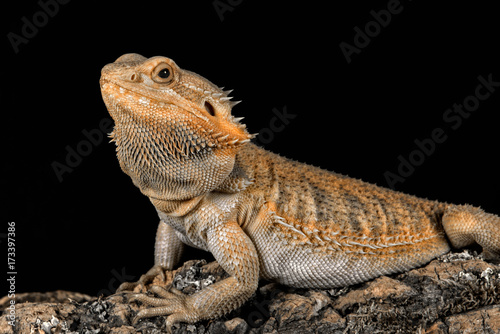 Three quarter profile portrait of a bearded dragon on a log looking to the left set against a black background